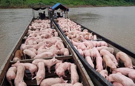 Giá heo (lợn) hơi hôm nay (28/9): Hai miền Trung, Nam tăng 2.000 đồng/kg