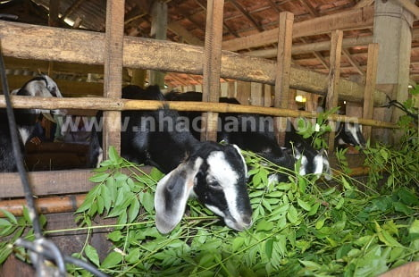Sơn Tịnh (Quảng Ngãi): Hiệu quả từ mô hình chăn nuôi dê lai bách thảo sinh sản