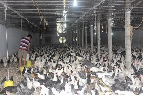 Kinh nghiệm thành công của trang trại nuôi 1 vạn con gà Ai Cập lấy trứng