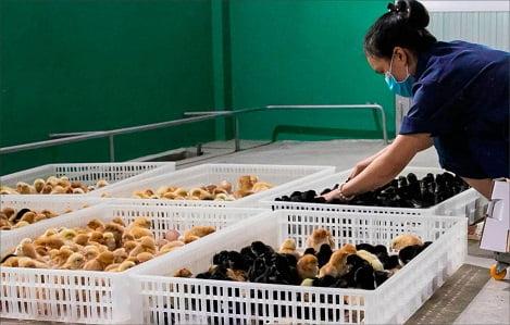 Nghịch lý trong chăn nuôi gà