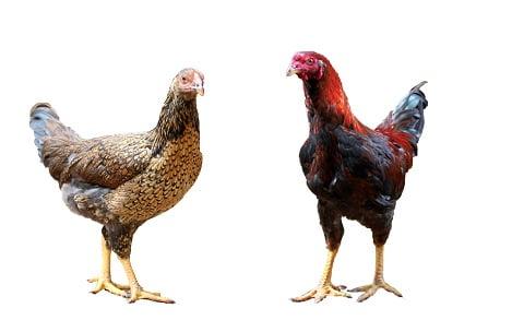 Gà ta lai chọi chọn tạo LH - 009 Lượng Huệ: Số 1 về năng suất chăn nuôi