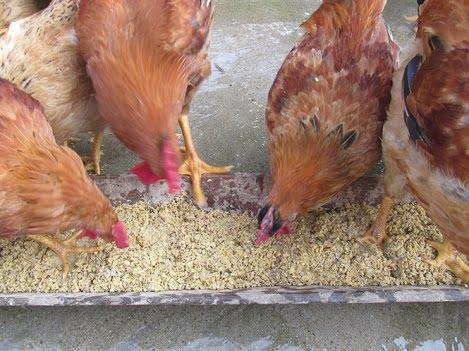 Cân bằng điện giải trong thức ăn cho gà broiler giai đoạn đầu tiên