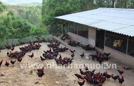 Khắc phục stress hại gà