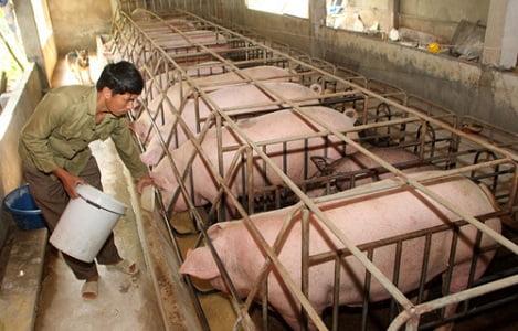 Giá heo hơi hôm nay 26/10: Doanh nghiệp điều chỉnh giá lợn hơi, miền Nam tăng giá