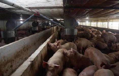 Tây Ninh: Heo tăng giá mạnh, người nuôi 'hồi hộp' tăng đàn, tái đàn