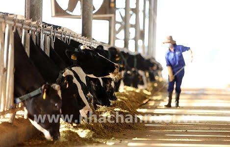 Chuỗi gia súc lớn: Lớn chưa đồng đều
