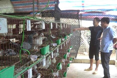 Tuyên Quang: Khởi nghiệp từ mô hình nuôi bồ câu nhốt chuồng