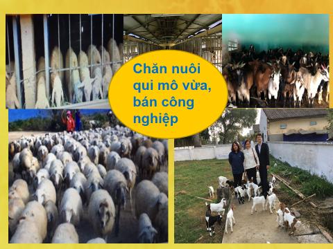Những suy nghĩ về phát triển chăn nuôi Dê, Cừu ở Việt Nam
