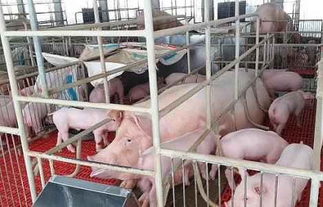 Giá heo (lợn) hơi hôm nay (13/11): Hai miền Bắc, Nam biến động