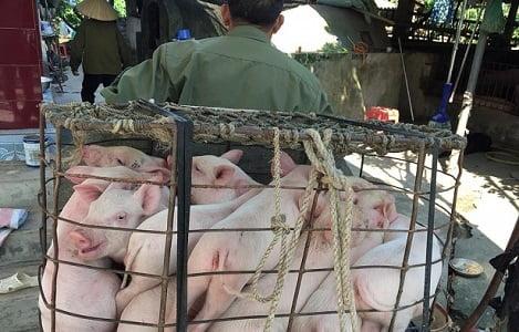 Giá heo (lợn) hơi hôm nay (1/11): Miền Bắc, Nam có nơi giảm 3.000 đồng