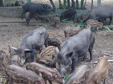 Không ngừng mơ rộng chăn nuôi từ bốn đôi heo rừng