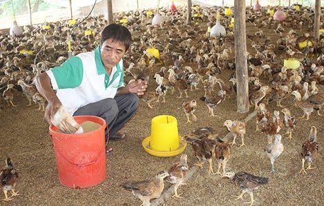 """Đồng Nai: Tổng đàn gà tăng trưởng """"nóng"""", trang trại heo chiếm gần 94% tổng đàn"""