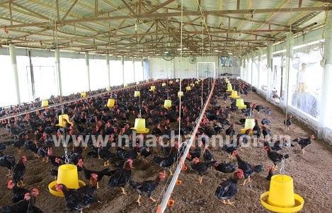 Chăn nuôi gà thịt không kháng sinh: Những việc nên và không nên