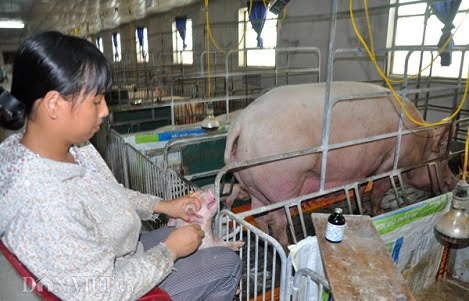 Giá heo (lợn) hơi hôm nay 28/11: Đồng loạt chững xuống 43.000 đồng/kg, người dân lo dịch LMLM