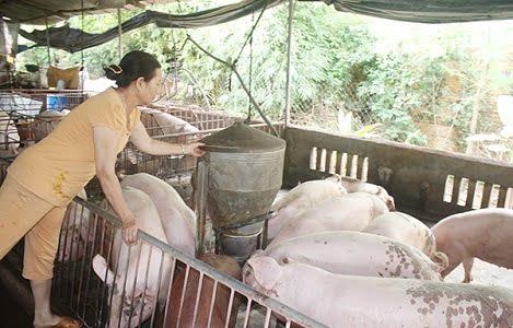 Quy trình thực hành chăn nuôi tốt cho chăn nuôi lợn an toàn trong nông hộ