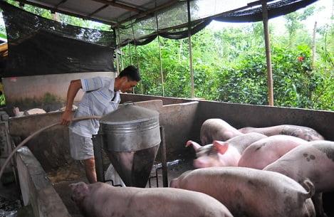 Giá heo hơi hôm nay 16/11: Giá lợn hơi miền Bắc rục rịch tăng, miền Nam ổn định