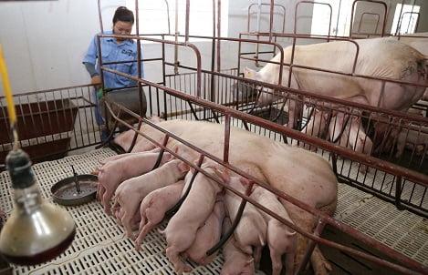 Hiệu quả ứng dụng về Enzyme tổng hợp PK218 trong khẩu phần lợn nái