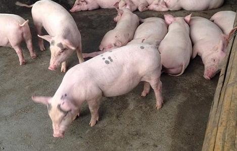 Giá heo (lợn) hơi hôm nay (30/11): Miền Nam có nơi tăng 3.000 đồng/kg