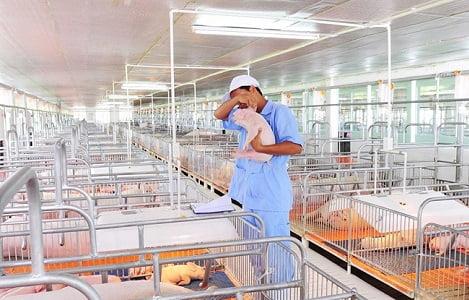 Chăn nuôi lợn Việt Nam yếu ở đâu?