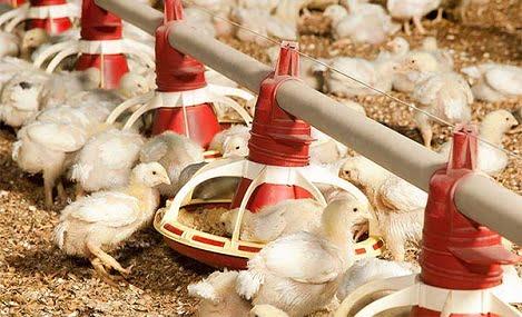 5 lời khuyên trong việc quản lý tốt Amoniac trong chăn nuôi gà