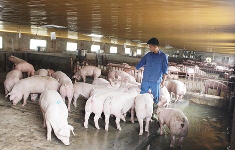 Bắc Kạn: Dự án nuôi lợn khép kín bước đầu hoạt động hiệu quả