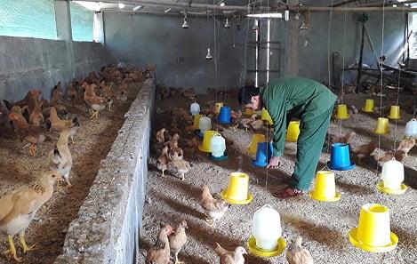 Thoát nghèo nhờ nuôi gà thả vườn