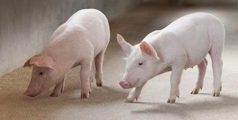 Hỗ trợ giảm kháng sinh trong chăn nuôi bằng hỗn hợp tinh dầu thiết yếu