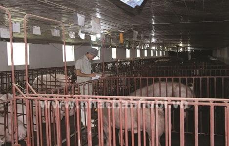 Quản lý tài chính trong trang trại chăn nuôi heo: Những bất hợp lý…