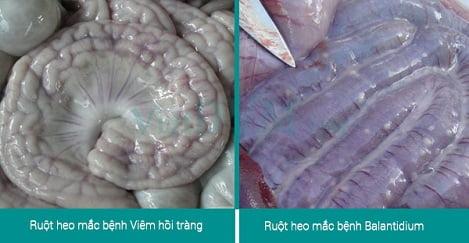 Phân biệt Heo bị tiêu chảy do Bệnh viêm hồi tràng hay do Balantidium Coli gây ra