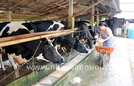 Cần Thơ: Khấm khá nhờ nuôi bò sữa