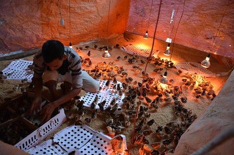 Tịnh Phong, Quảng Ngãi: Bàn giao gà cho nông dân thuộc Chương trình mục tiêu Quốc gia xây dựng Nông thôn mới
