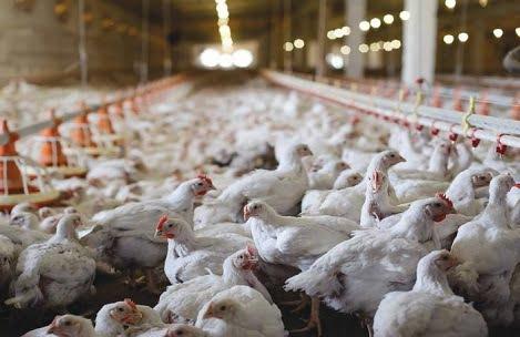 Asian Agribiz: Giá gà thịt trắng tăng đột biến tại Việt Nam