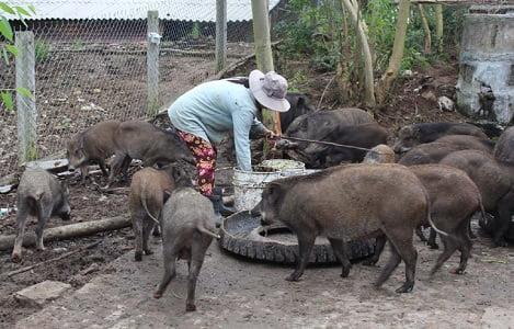 Phú Yên: Heo rừng nuôi đắt hàng, tăng giá dịp Tết