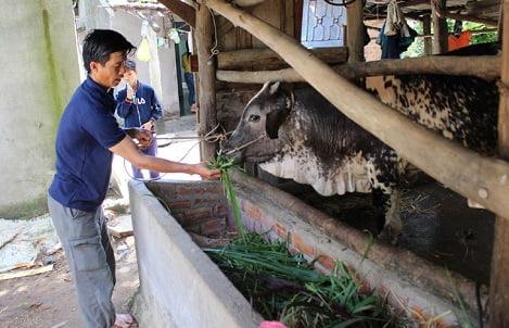 Phú Yên: Bò có giá, nông dân khôi phục đàn