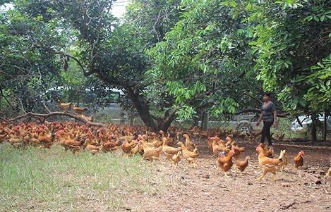 Đồng Nai: Gà ta rớt giá, gà công nghiệp đắt hàng