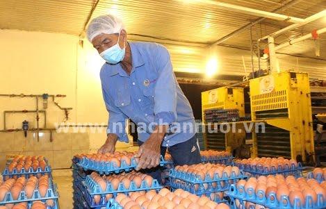 4 mẹo gia tăng chất lượng vỏ trứng khi gà già đi