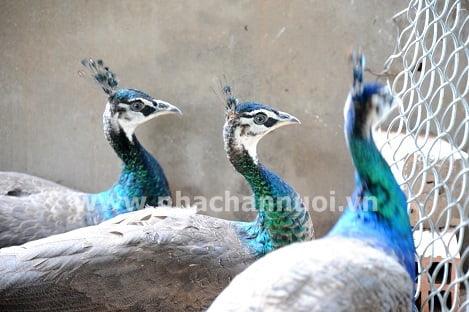 Trang trại nuôi chim công lớn nhất miền Tây