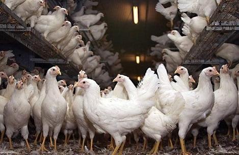 6 lời khuyên nuôi gà hậu bị để tăng sản lượng trứng