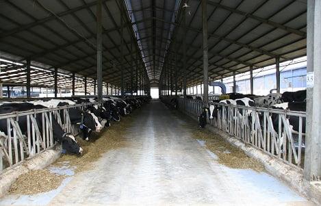 Trang trại chăn nuôi bò sữa tại Tây Ninh