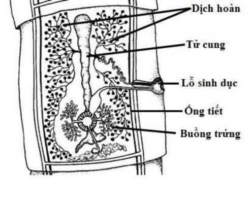 Bệnh gạo lợn: Đặc điểm và cách phòng ngừa, điều trị bệnh