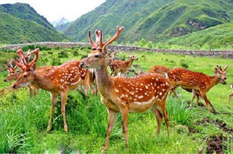 Bảo hộ chỉ dẫn địa lý cho nhung hươu Hương Sơn, Hà Tĩnh