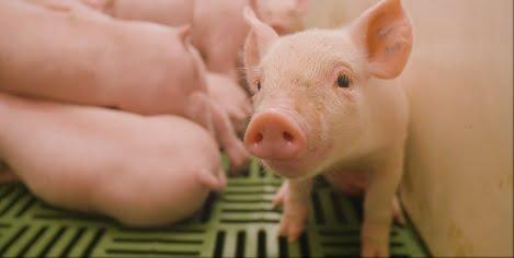 Các giải pháp hạn chế kháng sinh trong chăn nuôi