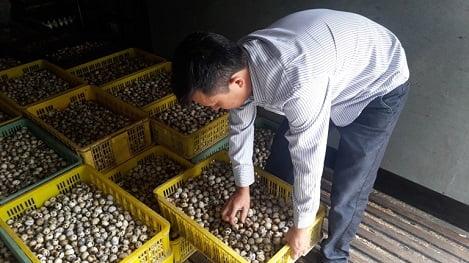 Vĩnh Phúc: Thu nhập tiền tỷ từ nuôi chim cút