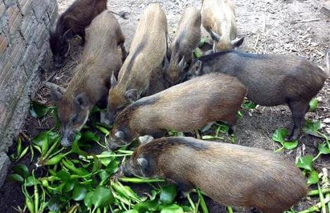 Lợn không được ăn rau chuối, bèo tây: Chính phủ yêu cầu bãi bỏ