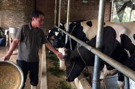 Mở hướng làm giàu từ nuôi bò sữa