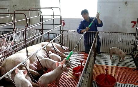 Dịch tả lợn Châu phi tiếp tục lây lan phức tạp trên địa bàn Hà Nội