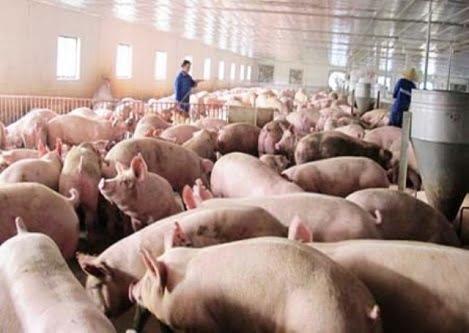 TP.HCM: Giá lợn hơi cán mốc 50.000đ/kg, thịt có nguồn gốc lên ngôi