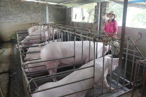 Lợn hơi tăng giá: Thận trọng tái đàn