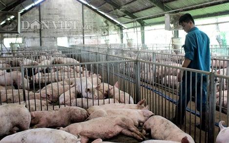 Giá heo hơi 11/4: Miền Nam tăng mạnh 7.000 đ/kg, Công ty C.P duy trì 85.000 lợn nái