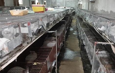 Một số lưu ý trong kỹ thuật xây dựng chuồng trại và chọn giống thỏ nuôi sinh sản